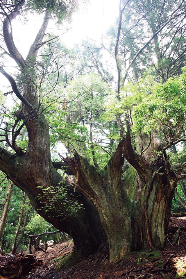 伏状台スギの森