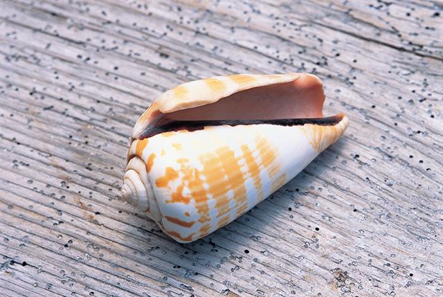 貝殻のコマ