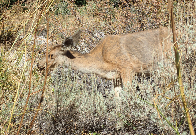 Mt.ホイットニー手前で草を食む鹿