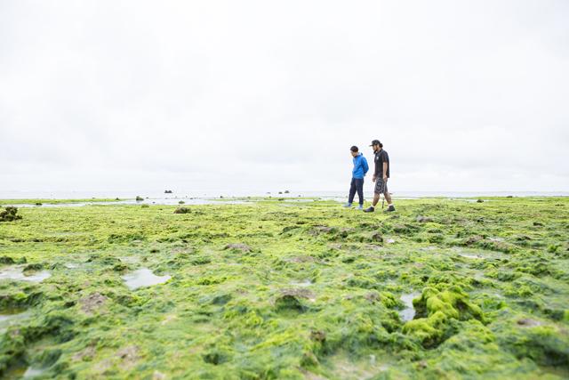 白保の海では1月頃からアーサが生え始める。その時期になると、アーサ採りのおばあたちがやってくる。緑の浜辺はほかでは見られない不思議な光景だ。