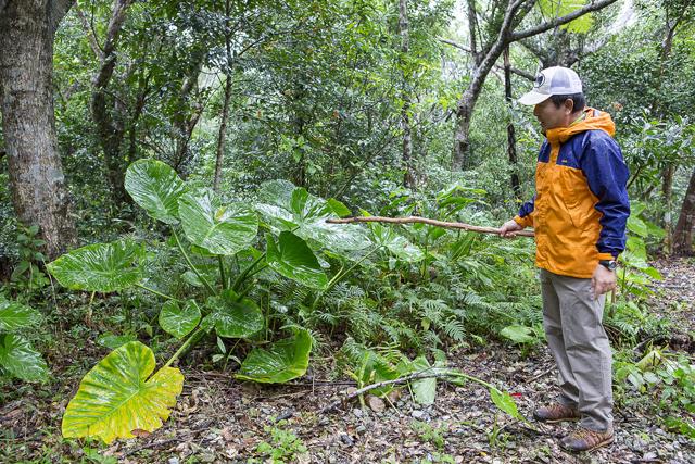 大きな葉のクワズイモ。樹液を火で焙ると天然の消毒液になる。