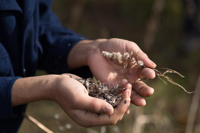 火口用に集められた草。ヨモギ類の枯れた花や草の穂を収集。