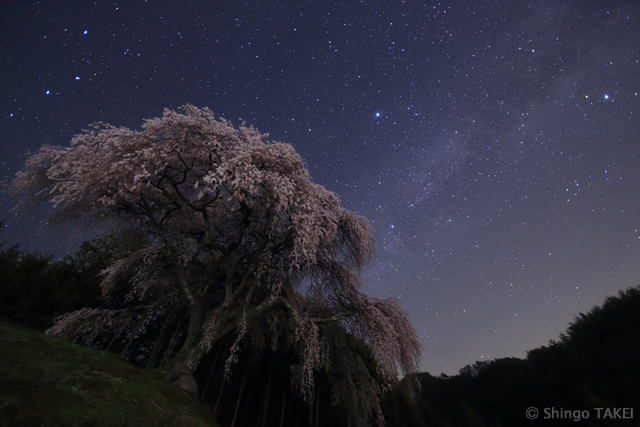 推定樹齢約150~200年のシダレザクラと天の川 / 山梨県