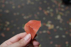 クスノキの落葉。こうして折ると香りが広がります