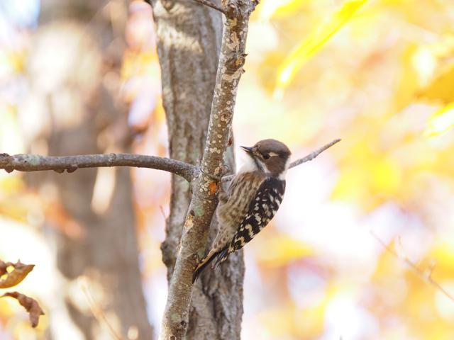 私以外の皆さんは発見できていたと思われるコゲラとはこんな鳥。※写真提供:掛下尚一郎(日本野鳥の会)