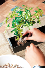 植物の配置を決めたら、周りの土を少し落とし、培養土(セット外)で植え付ける。