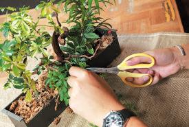 全体を見て、重なり合っ た葉や、余分な葉をハサミでカットし、樹形を整える。
