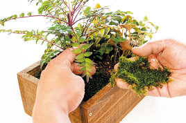 土の表面にコケをのせ、軽く手で押さえる。コケを敷くと保水性もUPする。