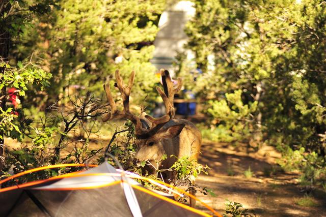 朝は、エルクが木の芽を食べに、近くまでやって来る事も!(草食なので、襲われることはないですが、あまり近寄らないように!)