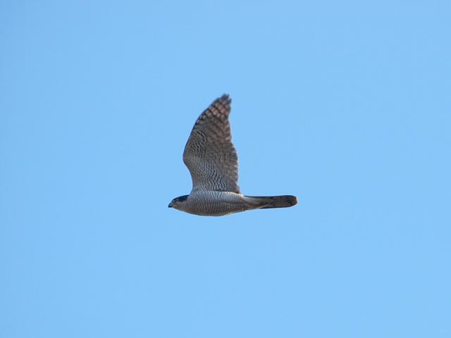オオタカとはこんな鳥。※写真提供:掛下尚一郎(日本野鳥の会)