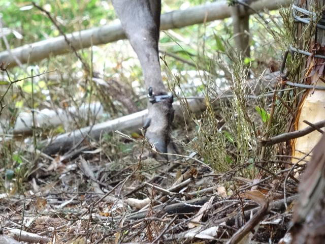 シカの足首をしっかりとつかんで離さない罠のワイヤー
