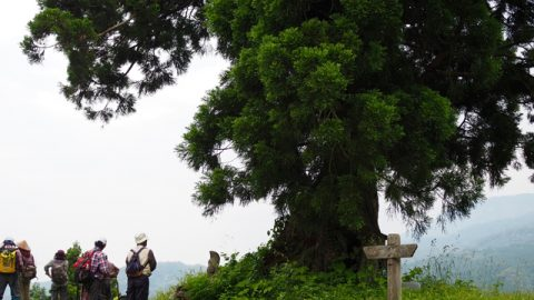 大塞の木(一本杉)。集落の入口や峠で道を守る神様として祀られている。