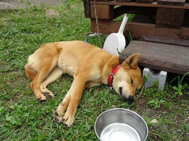 あるじ一家の愛犬サニーも、日向ぼっこでウトウト・・・