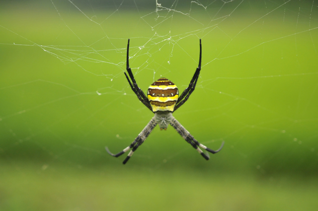 フォルムが美しいコガネグモと遭遇