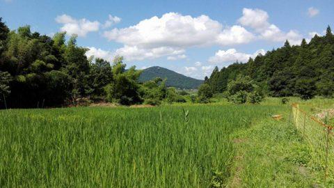 9月少しずつ穂が垂れてきて間もなく収穫。復活していく谷津田を眺めて「開拓団がどんどん面白くなってきた」と茨木さん。