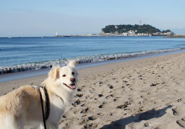 腰越の海と我が家の愛犬「大吉」