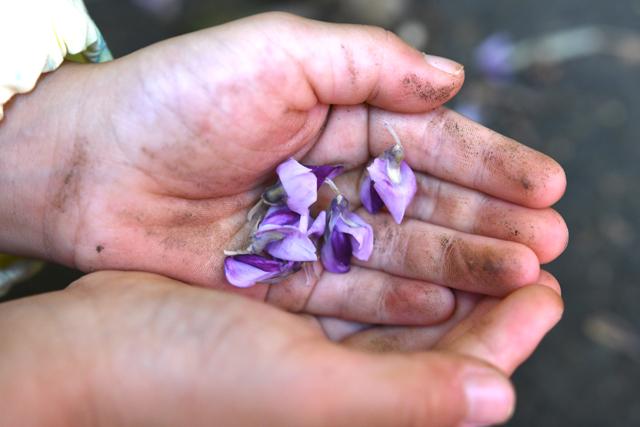 道ばたに落ちているクズの花をたくさん拾っていた。彼女たち曰く、この花はサラダにしてもおいしいらしい