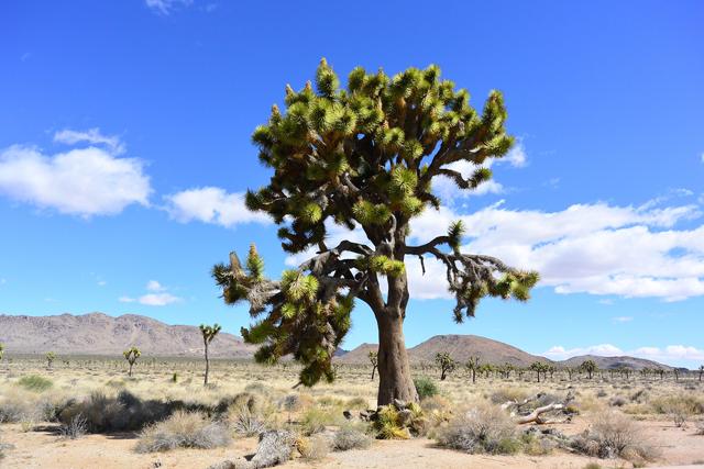 青空によく映えるジョシュア・ツリーの木