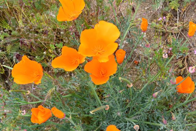 オレンジ色のカリフォルニアポピー。とてもかわいい!