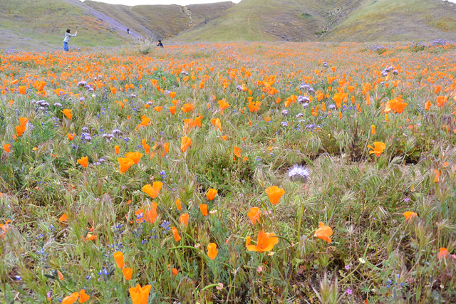 道路脇にカリフォルニアポピーが咲き誇っているエリアがありました