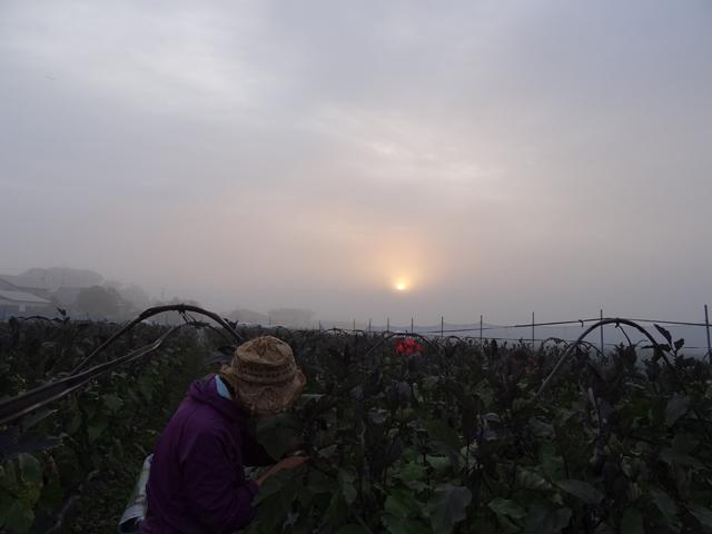 広大な、なす畑。さすが、専業農家さんは規模が違う