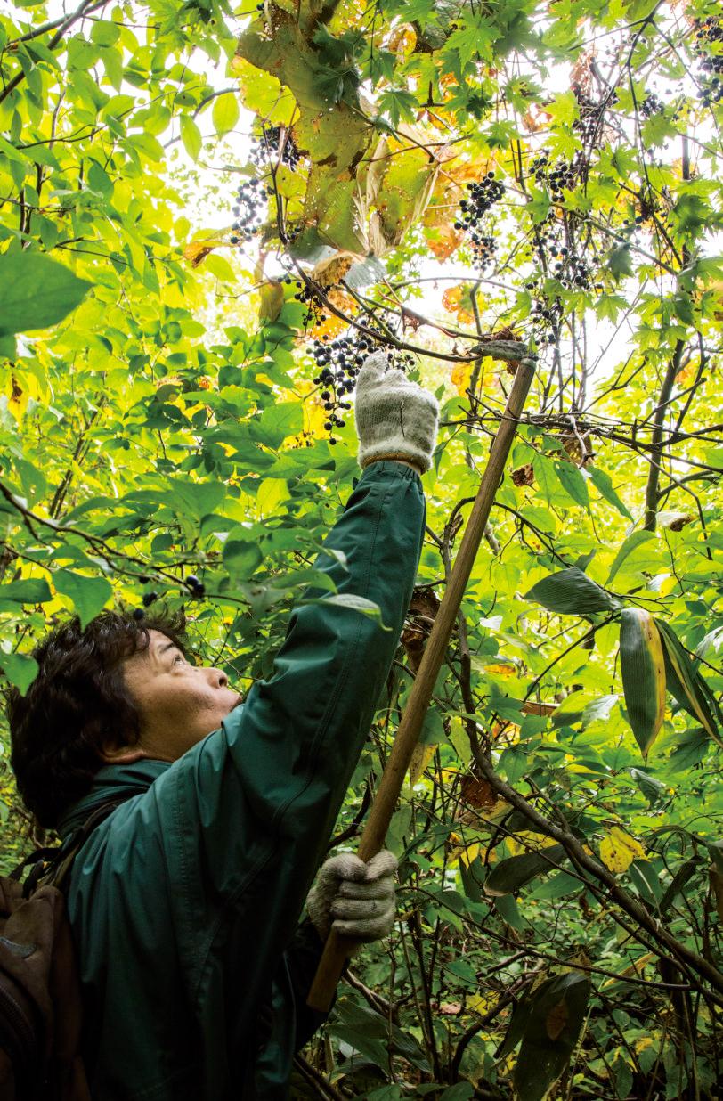 高い場所で実をつけているヤマブドウやサ ルナシを見つけたら、小鎌を蔓にひっかけ、 切らないようにゆっくり手繰り寄せる。
