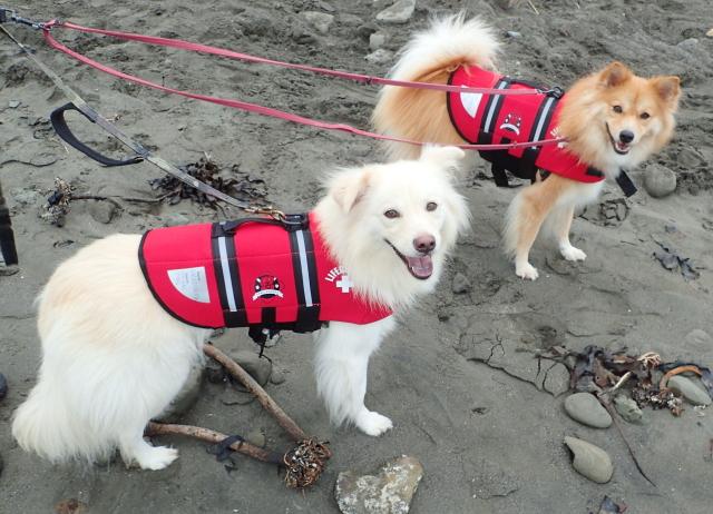 わが家の犬たち、大吉(白)と福助(茶)、どちらも雑種