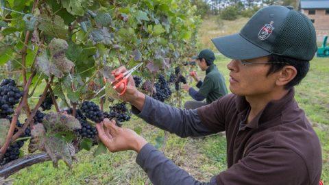 手作業で品質の良い果実だけを残していく木原茂明さん。地道な作業がワインの 味を向上させる。