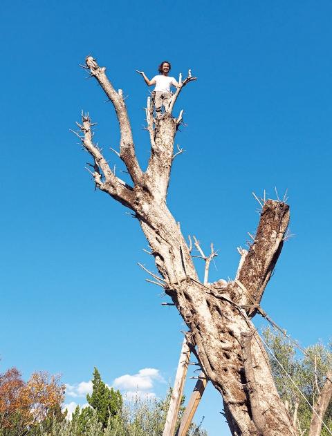 北イタリアのオリーブは高さ15m。木登りが大得意な清順さんはするするとテッペンへ。