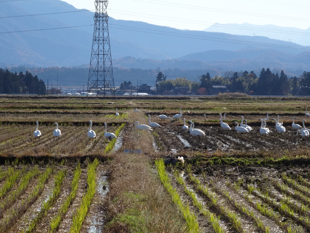 白鳥が田んぼにエサを食べに来るのは、冬の日常風景
