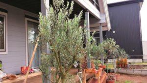 DMA-オリーーブの木