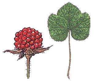 フユイチゴ