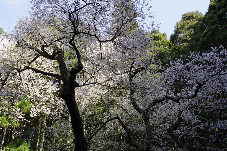 春といえば桜!見事な一本桜を楽しむ、福智山(福岡県)の中腹 ...