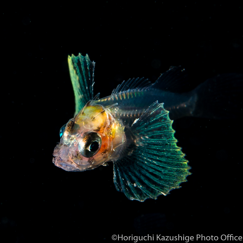 ウツボ 稚魚